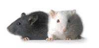 Image of two mice