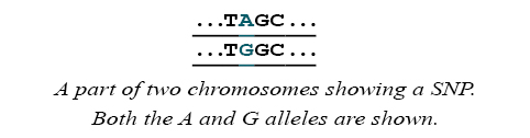 Part of two chromosomes showing SNP