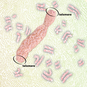 A chromosome labeled to show the general regions known as telomeres. Telomeres protect the chromosomes's ends