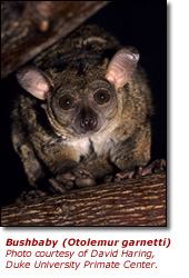 Click here to view a high resolution photo of the bushbaby