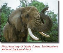 Elephant.  Courtesy of Jessie Cohen, Smithsonian's National Zoological Park.