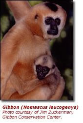 Click here to view a high resolution photo of the white-faced gibbon