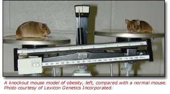 A knockout mouse model of obesity, left, compared with a normal mouse.