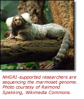 Click here to view larger image of the marmoset