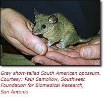 Photo of the gray short-tailed South American opossum. Courtesy: Paul Samollow, Southwest Foundation for Biomedical Research, San Antonio