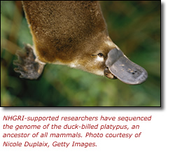 NHGRI-supported researchers have sequenced the genome of the duck-billed platypus, an ancestor of all mammals. Courtesy Nicole Duplaix, Getty Images.