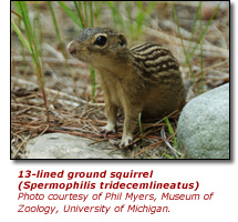 Click here to view a high resolution photo of 13-lined ground squirrel