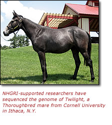 NHGRI-supported researchers have sequenced the genome of Twilight, a Thoroughbred mare from Cornell University in Ithaca, N.Y.