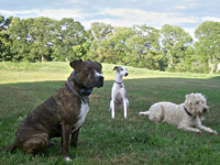 Three dogs of different size and shape