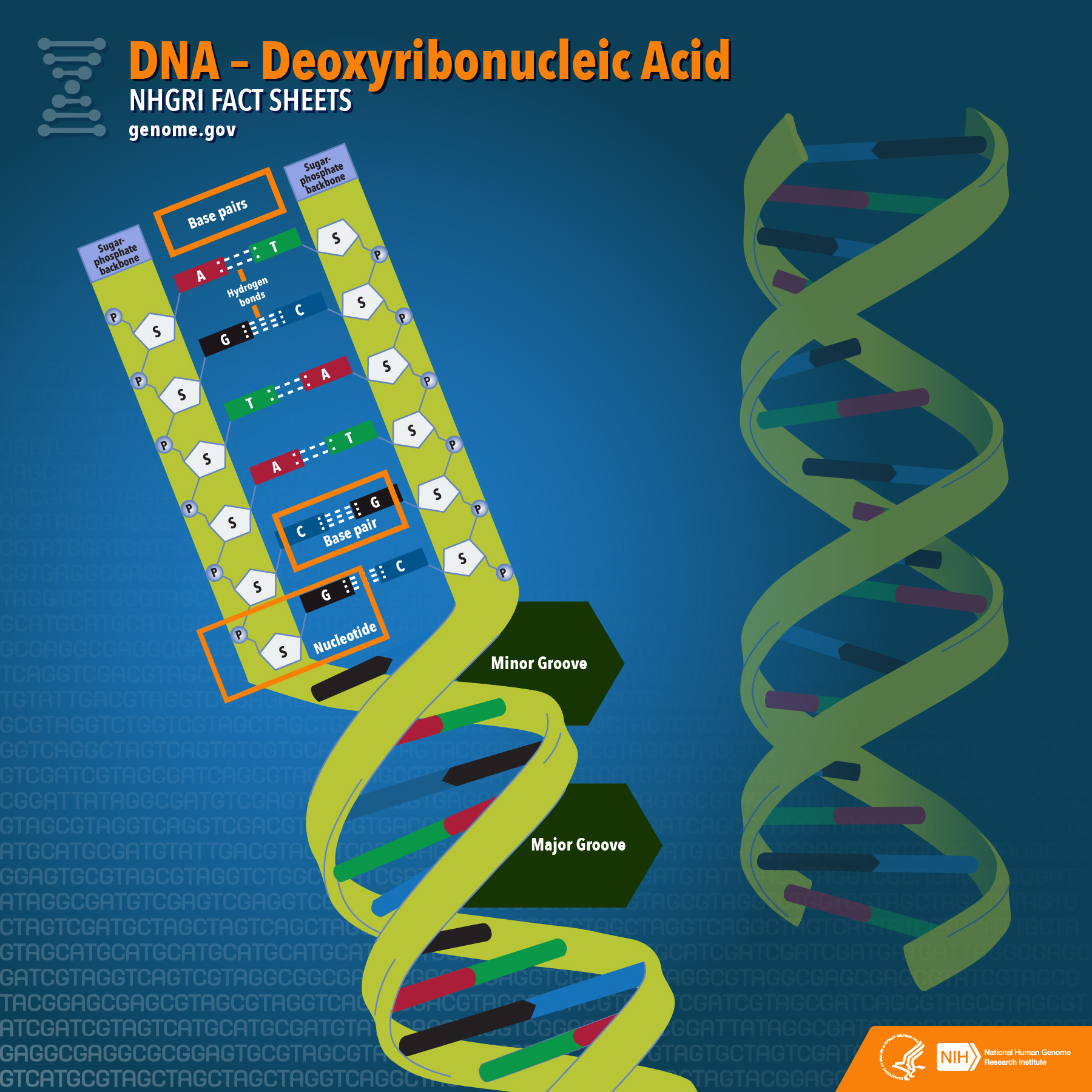DNA Fact Sheet