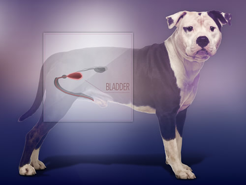 Bladder shown on a photo of a dog