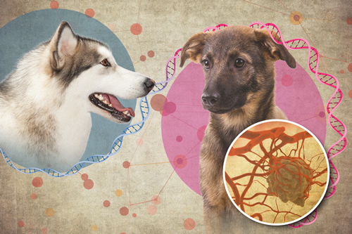 Dog tumors might teach new tricks about human cancer | NHGRI