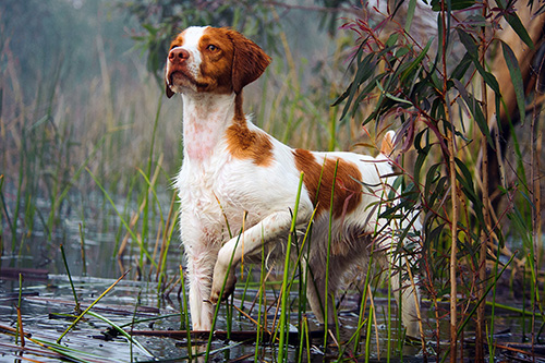 An alert dog looks away while walking in shallow water