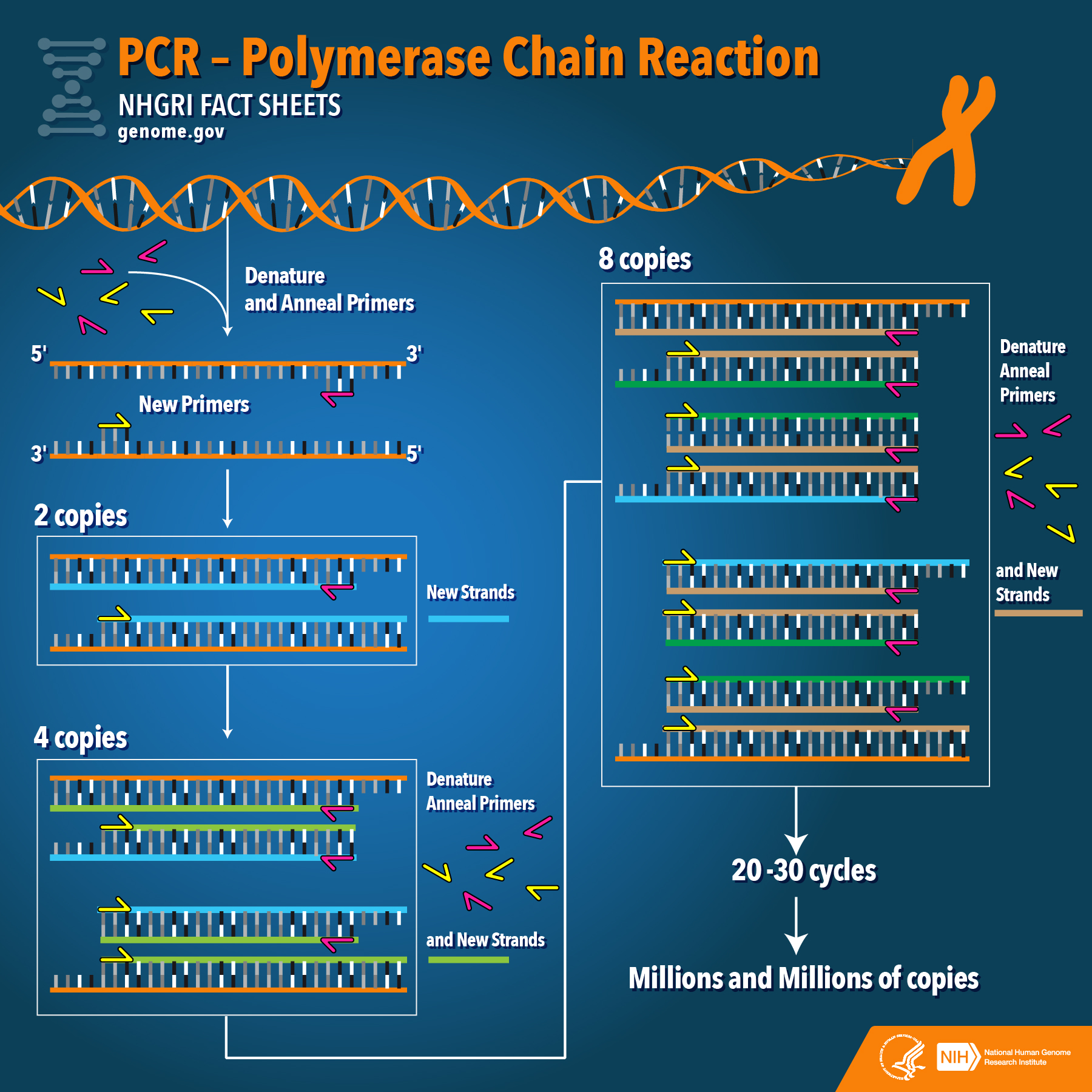 polymerase chain reaction diagram