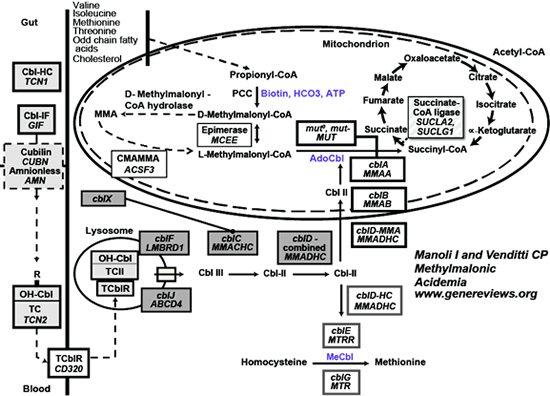 An overview of the pathway of cobalamin uptake, transport and intracellular metabolism.