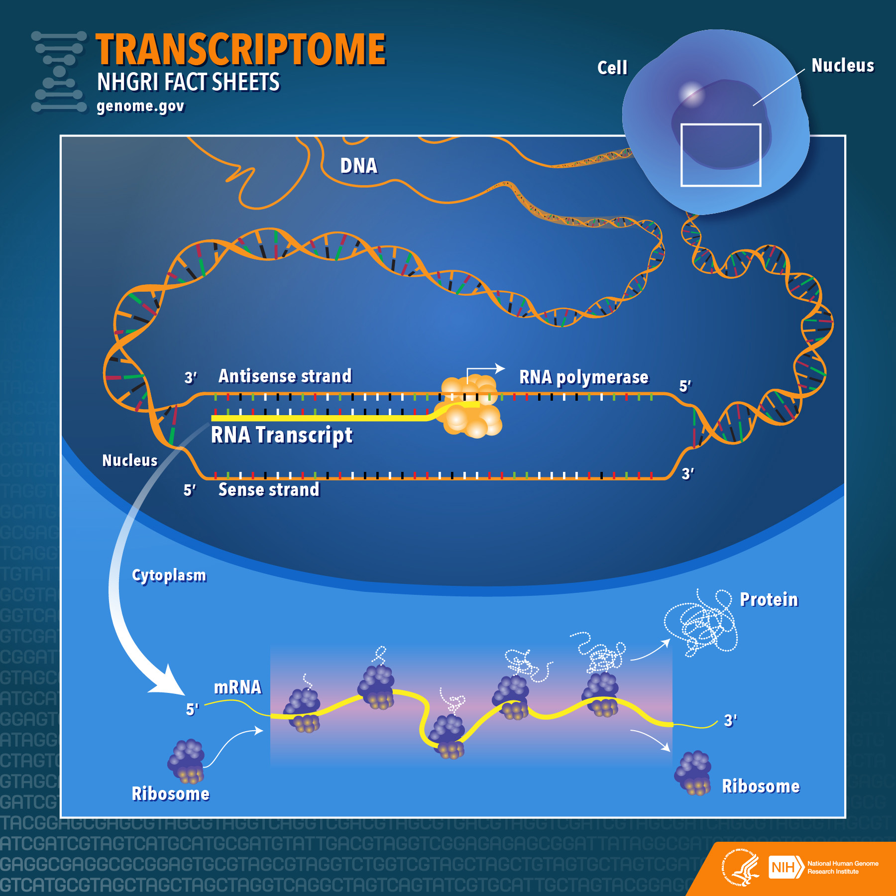 transcriptome diagram