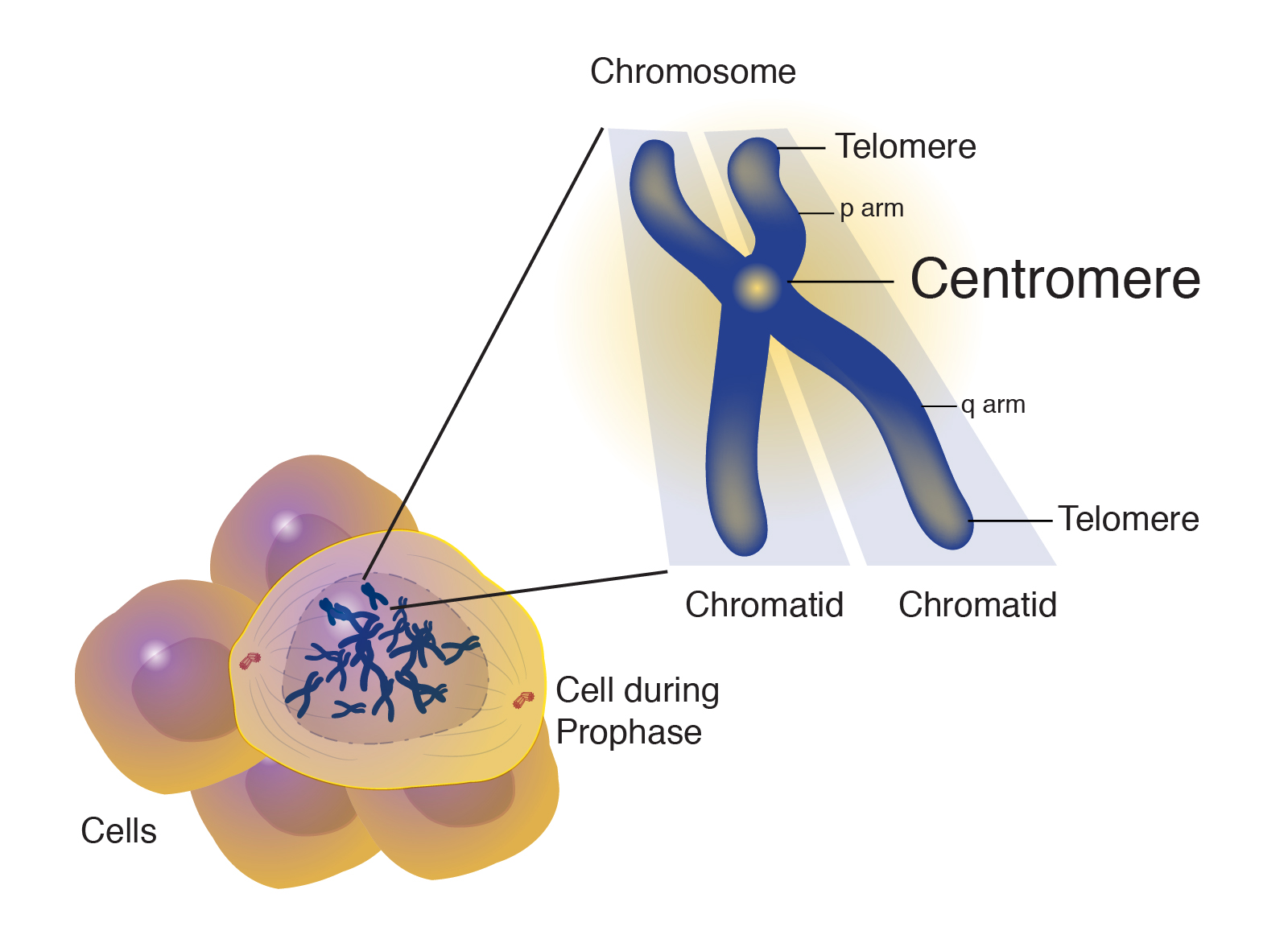 Image result for centromere