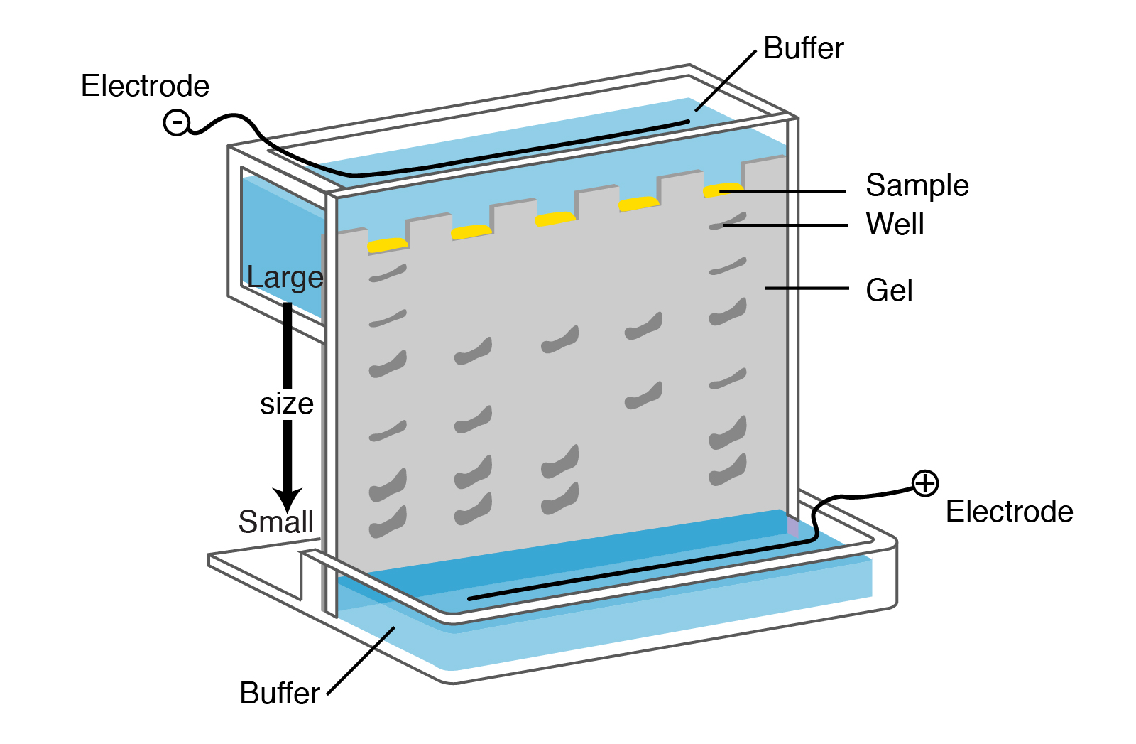 Electrophoresis | Talking Glossary of Genetic Terms | NHGRI