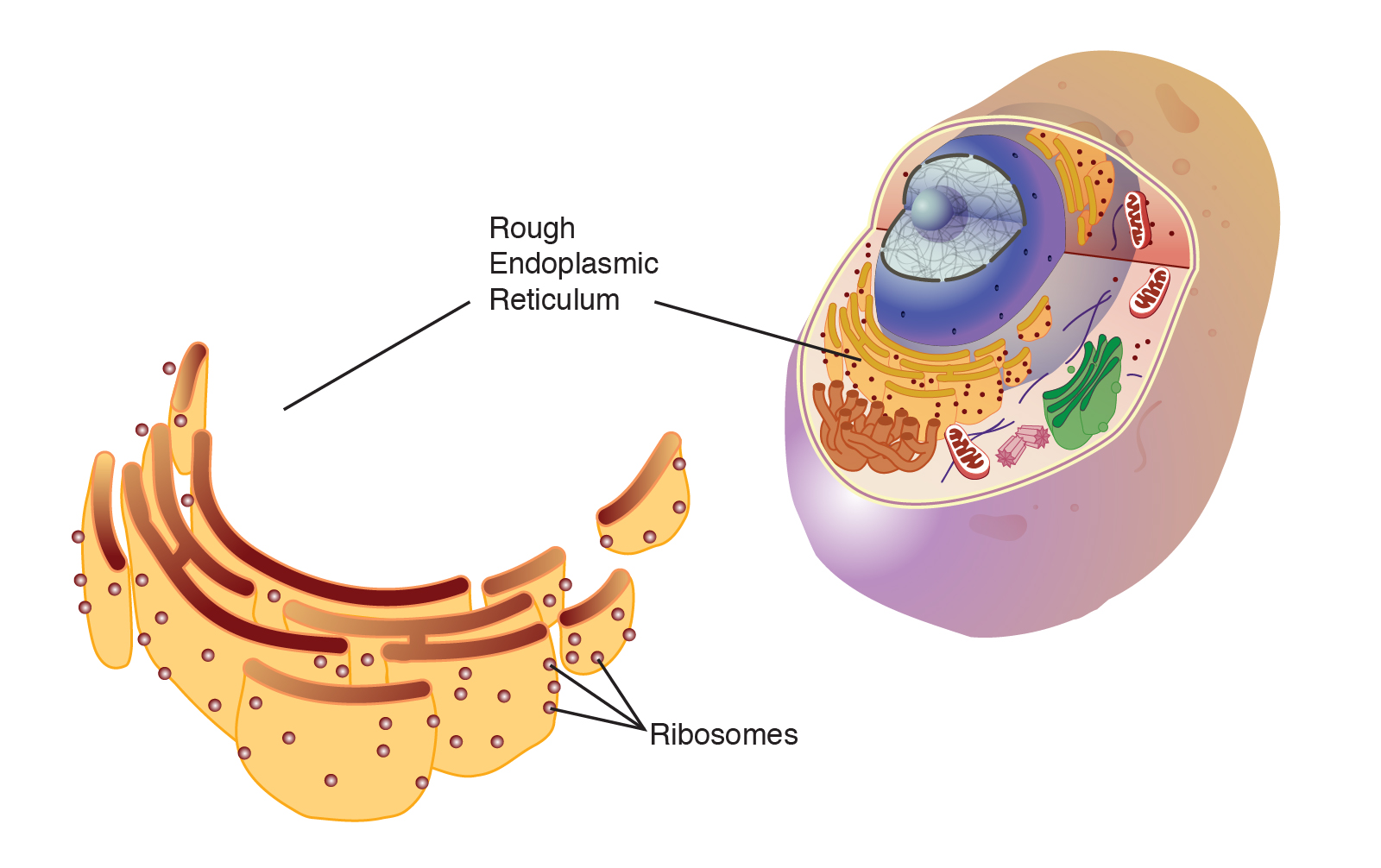 endoplasmic reticulum  rough
