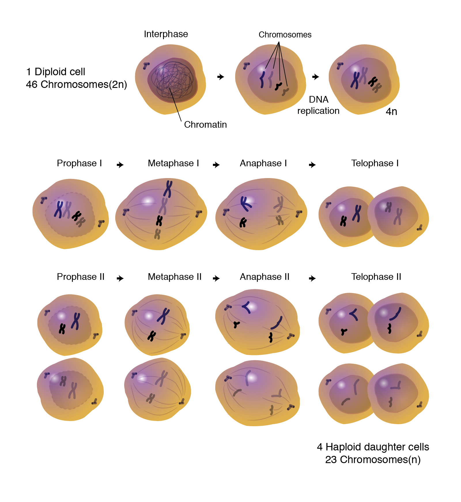 Meiosis | Talking Glossary of Genetic Terms | NHGRI