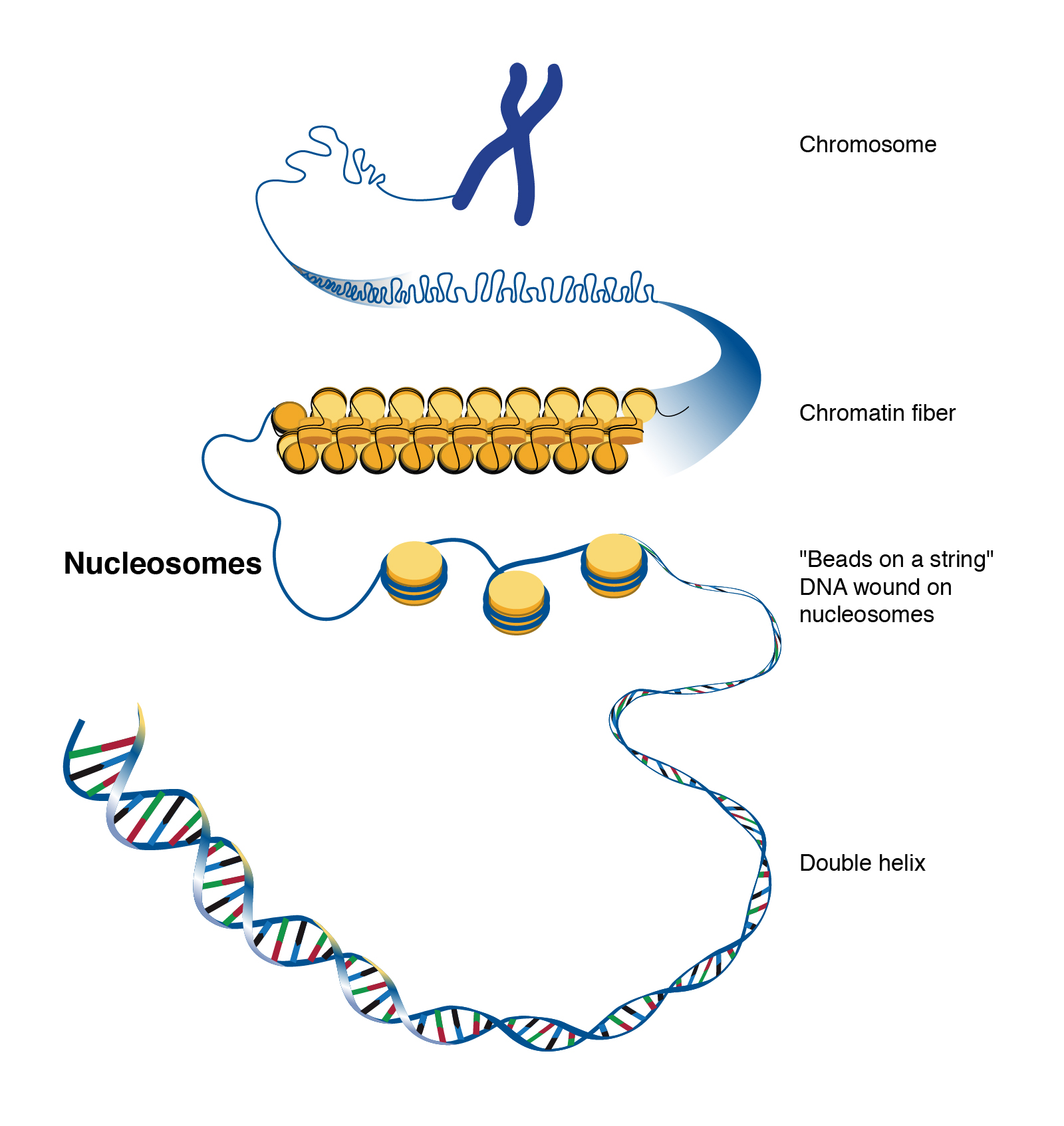 Nucleosome | Talking Glossary of Genetic Terms | NHGRI