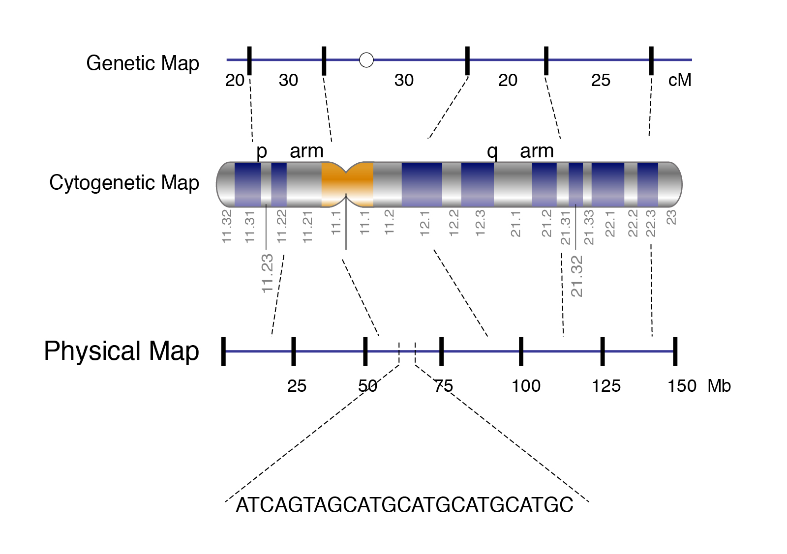 Physical Map | Talking Glossary of Genetic Terms | NHGRI on heart map distance, genetic distance nei, cavalli-sforza genetic distance, linkage maps distance, genetic distance race, world map distance, genetic distance 1,