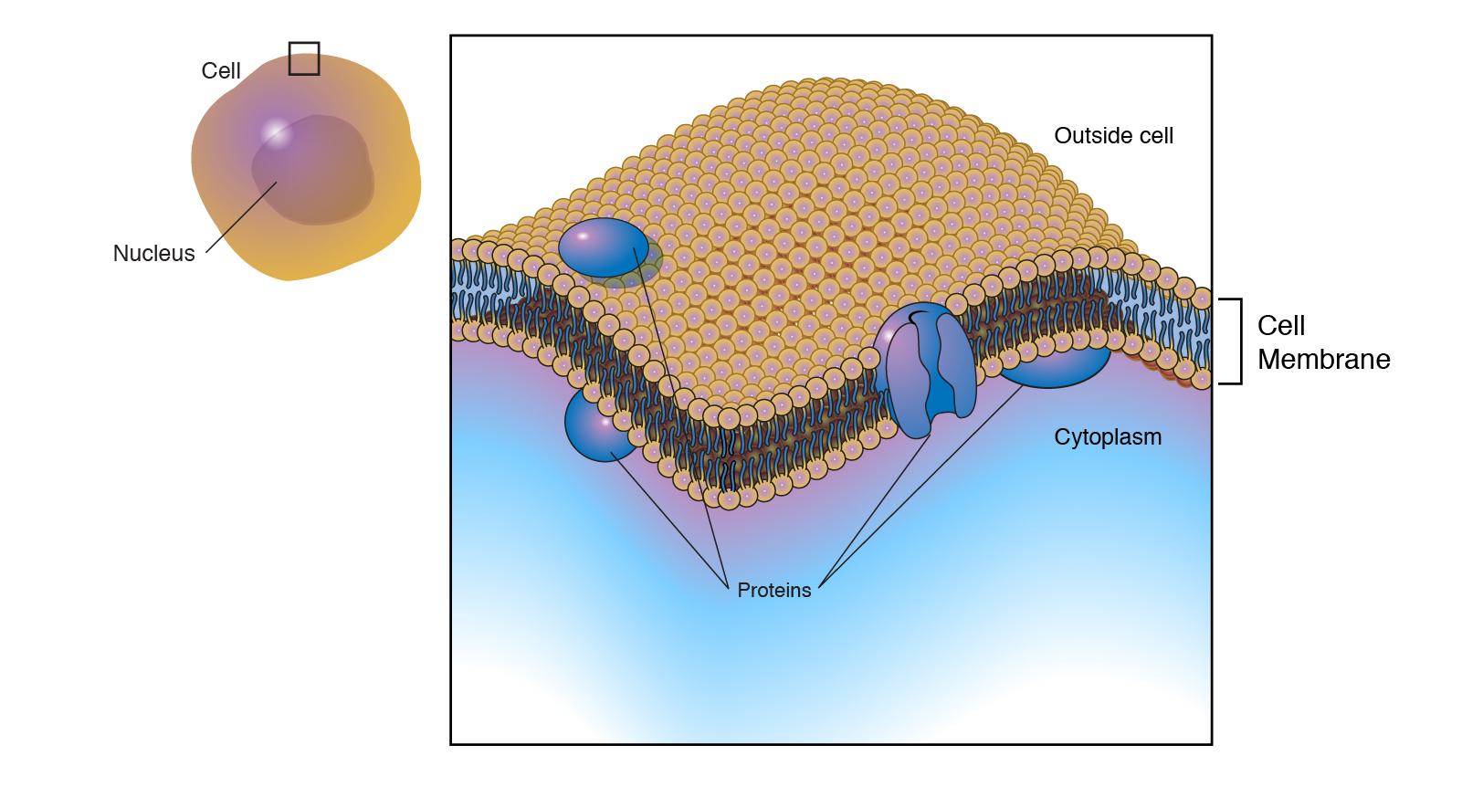 Plasma Membrane  Cell Membrane