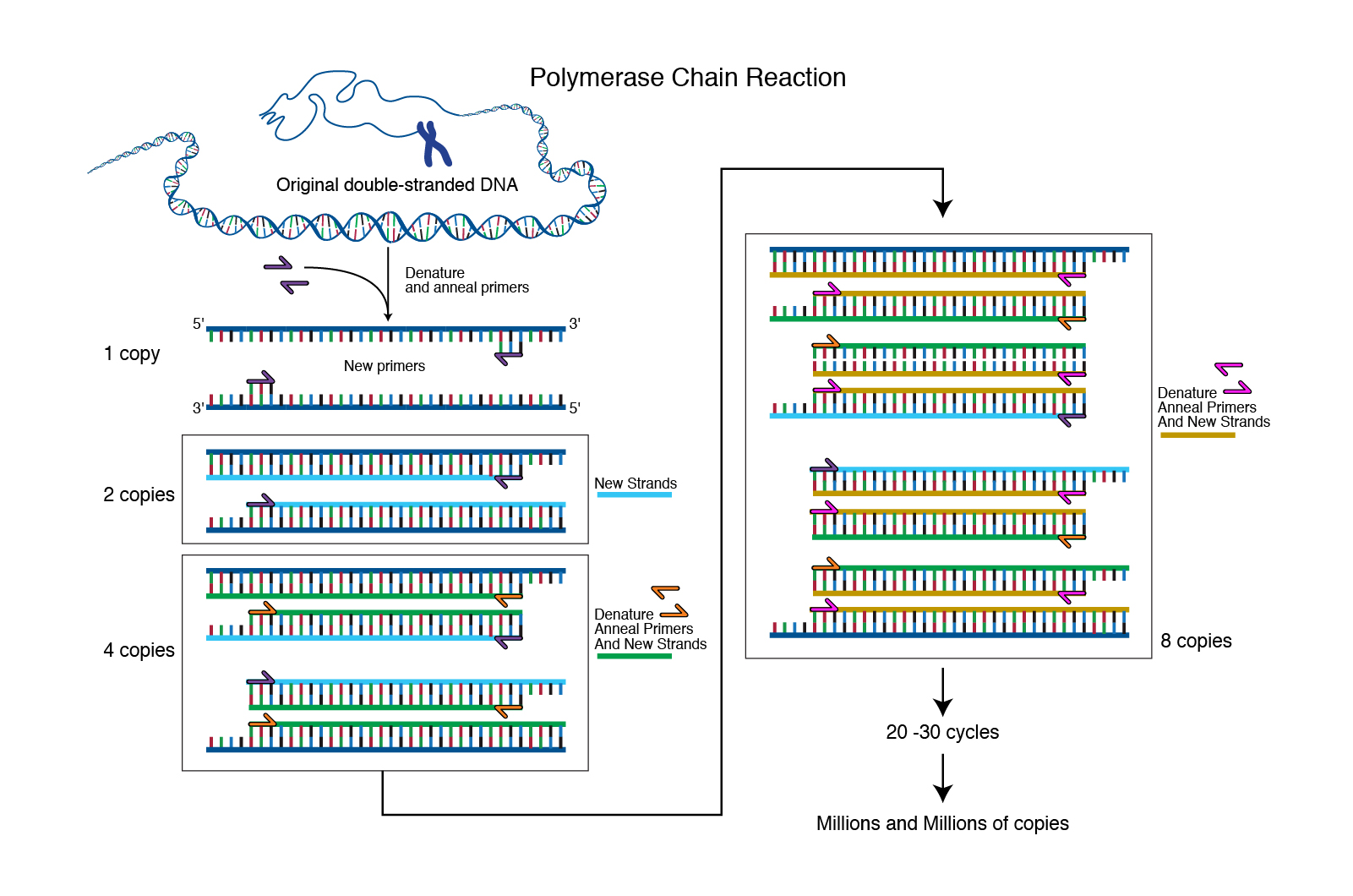 Beaches] The purpose of pcr (polymerase chain reaction) is to