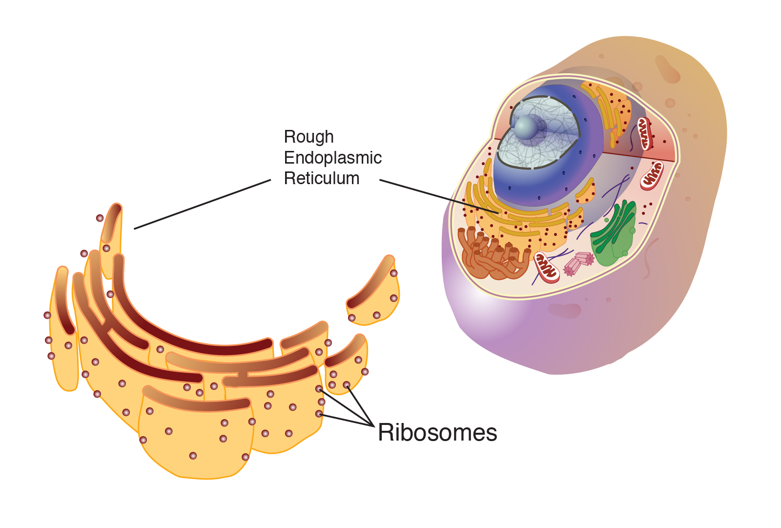 ribosome talking glossary of genetic terms nhgri  cell diagram with ribosomes #13