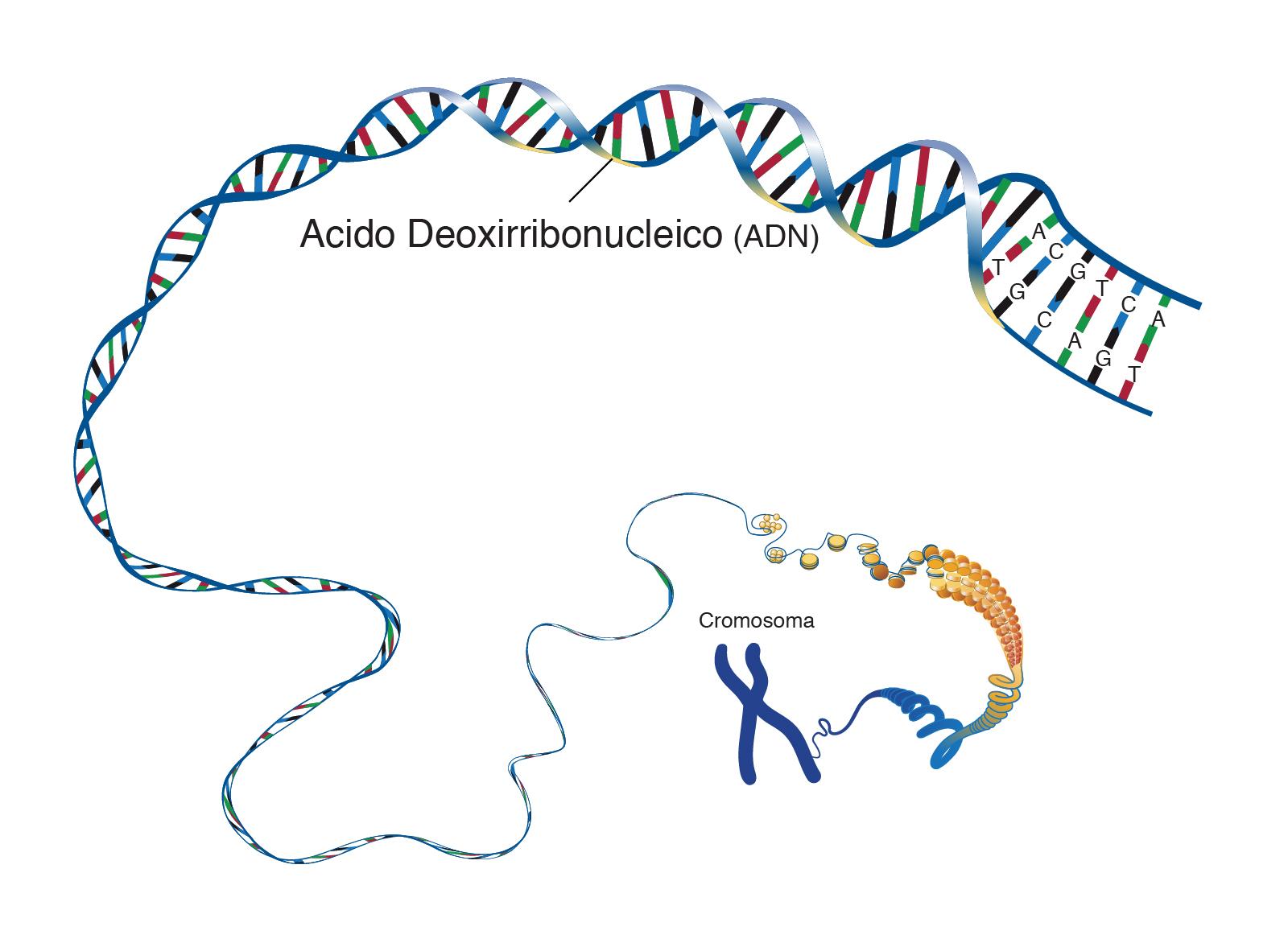 Adn ácido Desoxirribonucleico Nhgri