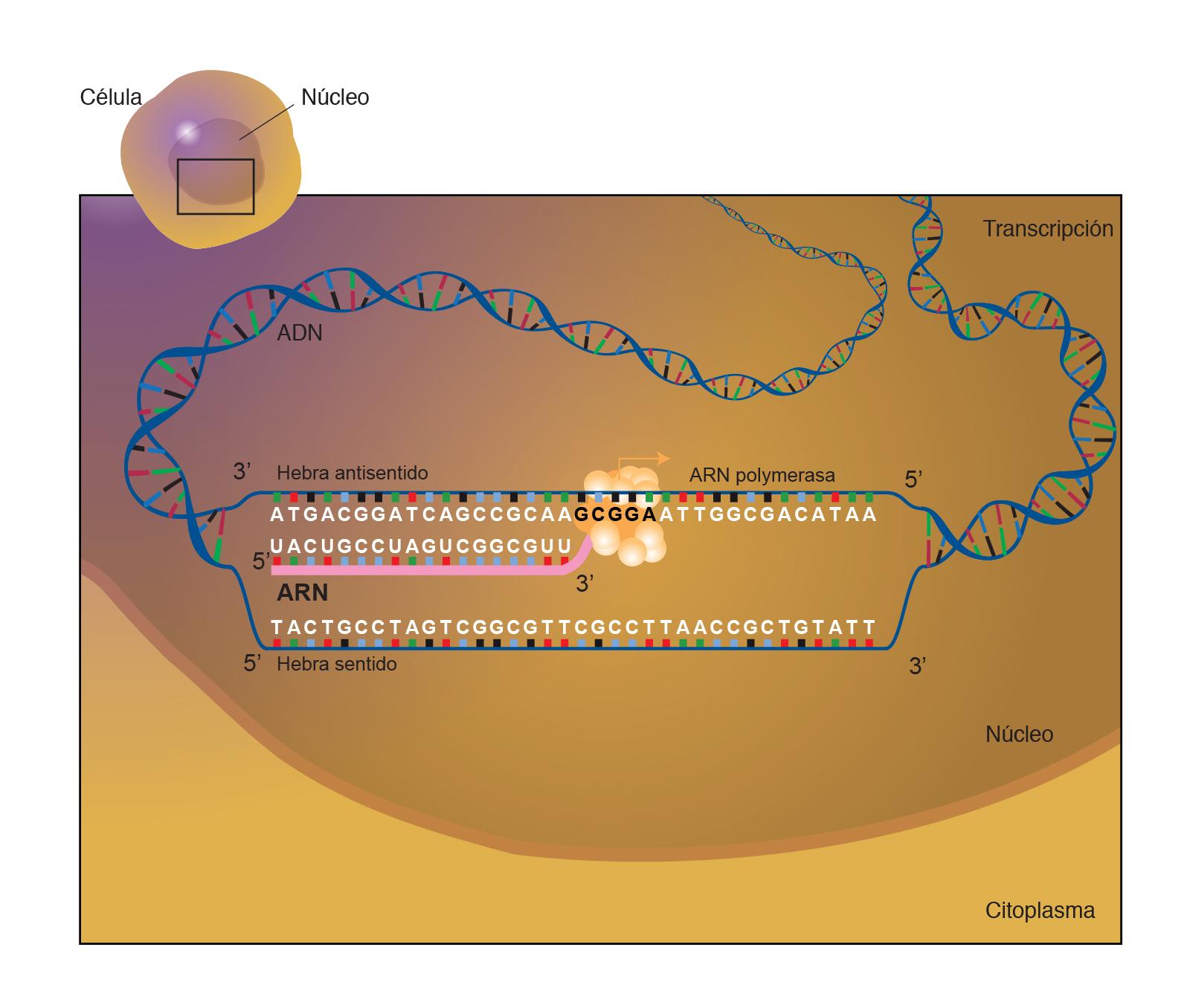 Arn ácido Ribonucleico Nhgri