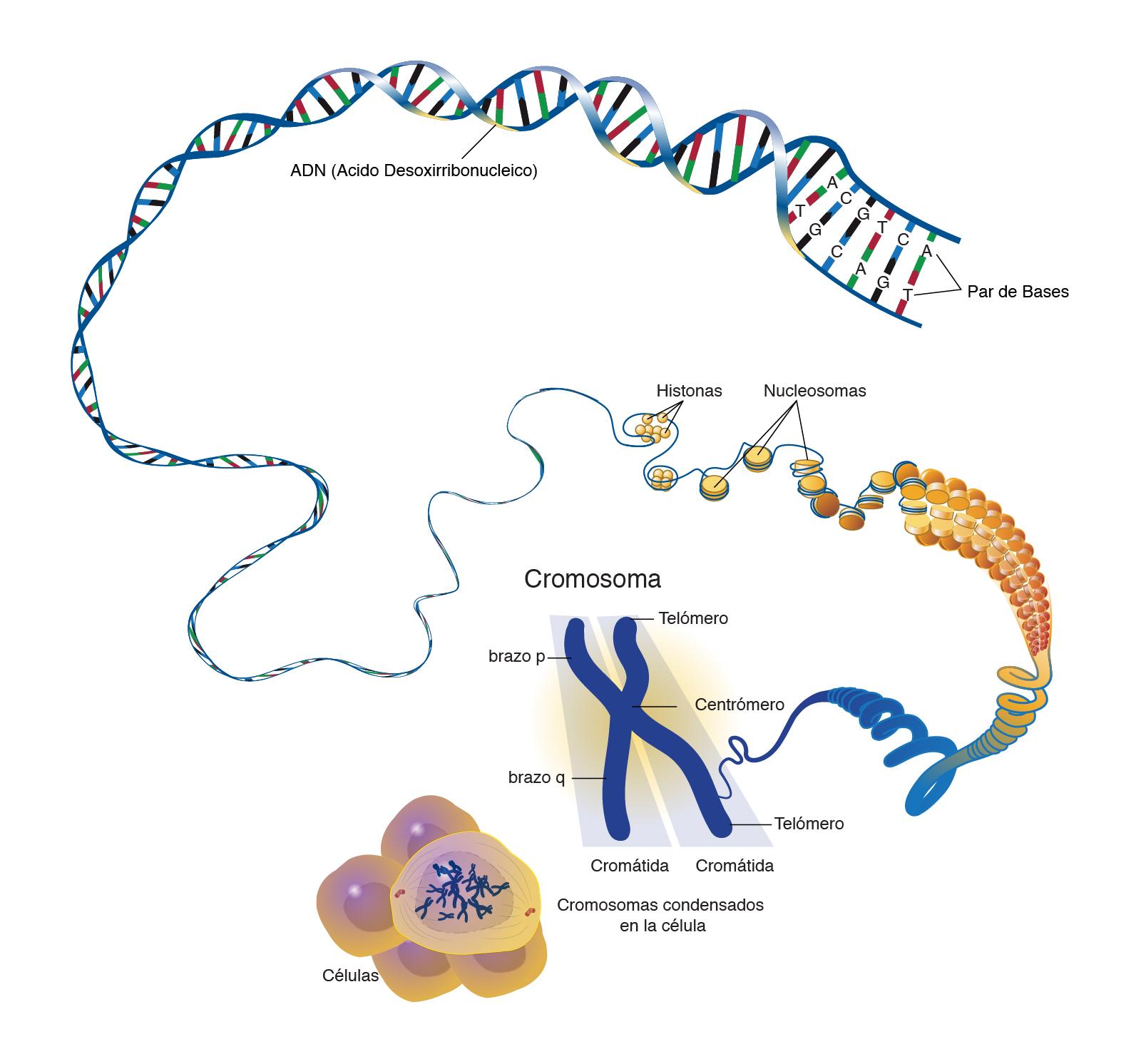 Cromosoma Nhgri