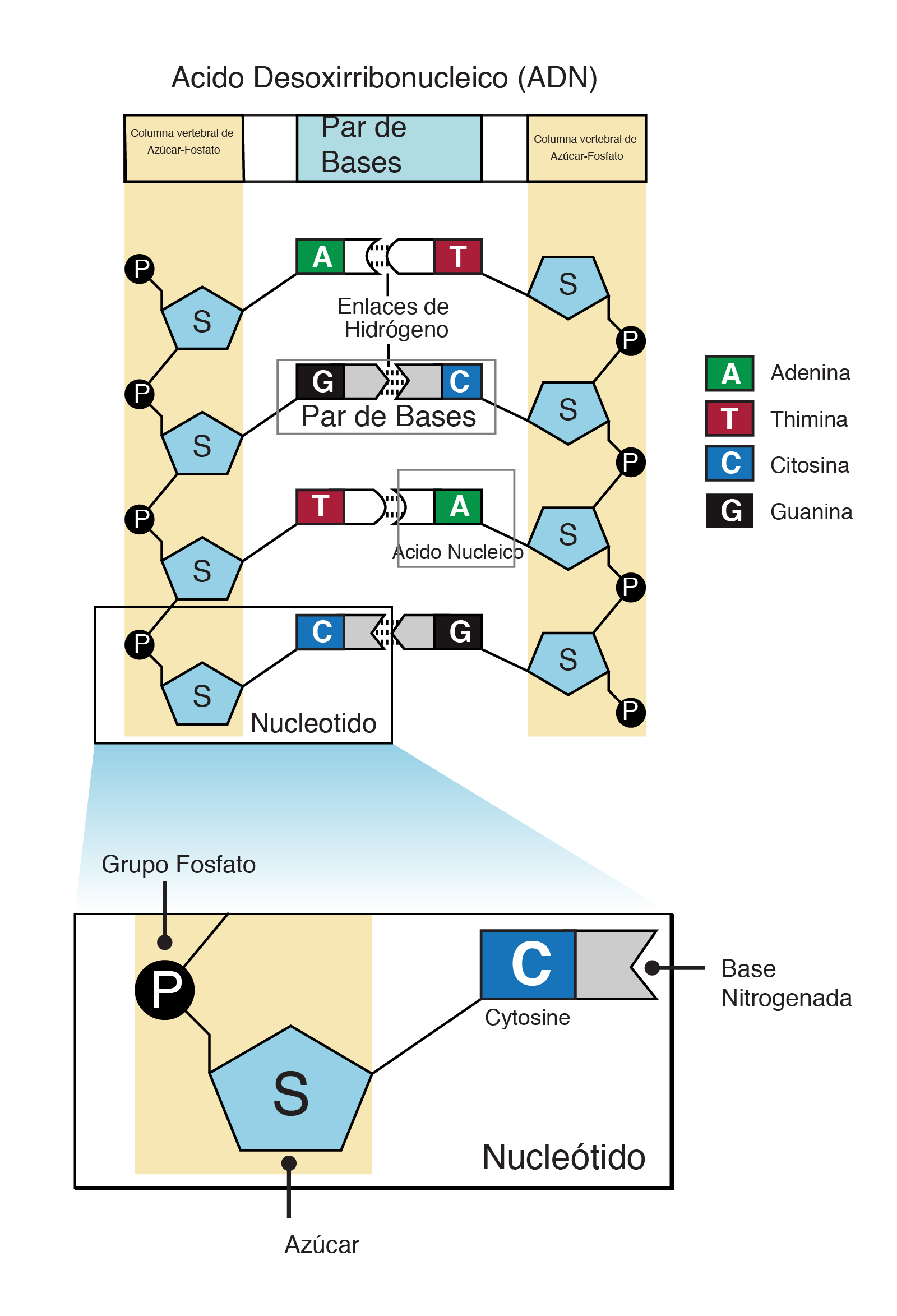 Nucleótido Nhgri