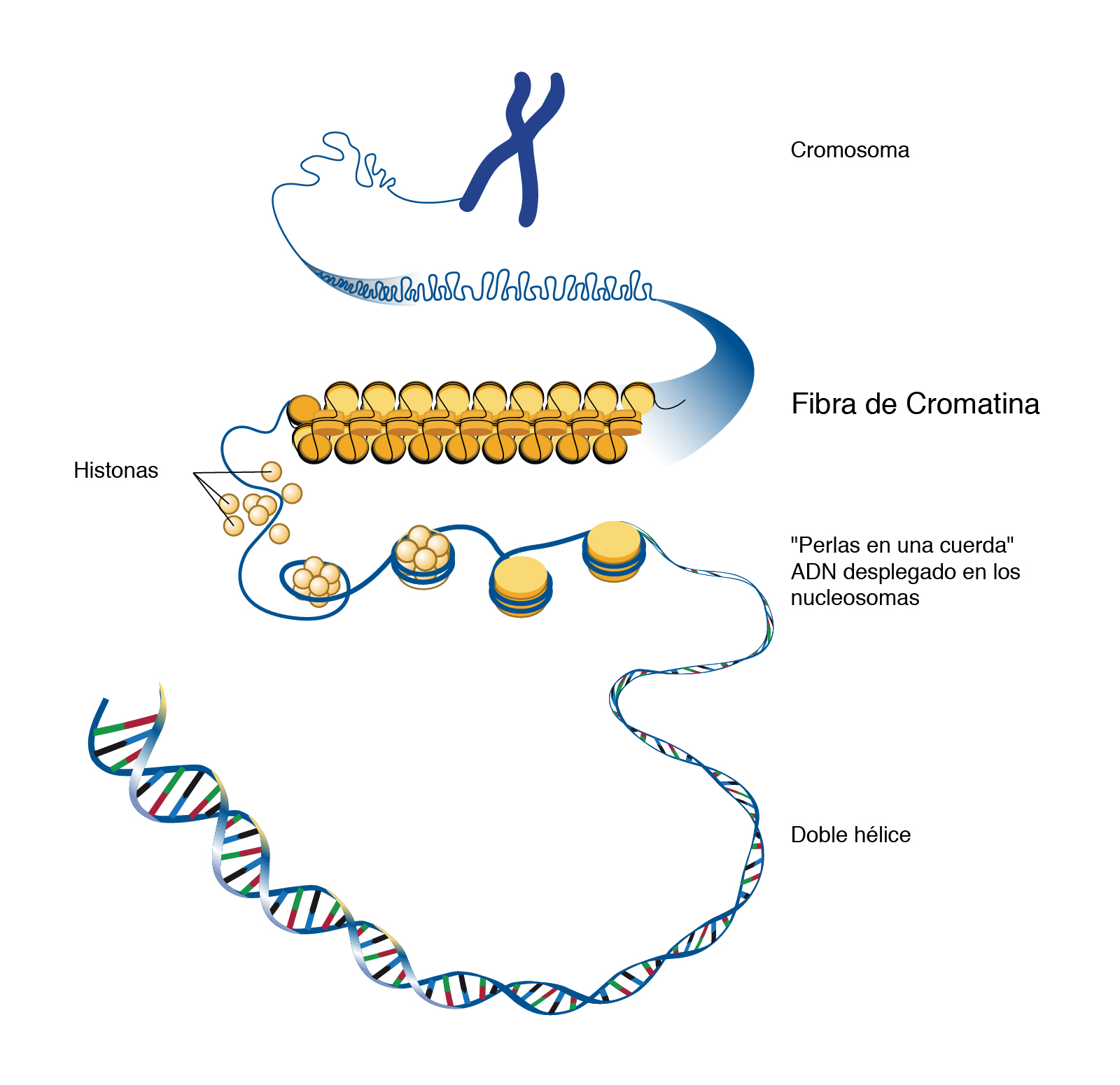 Nucleosoma Nhgri