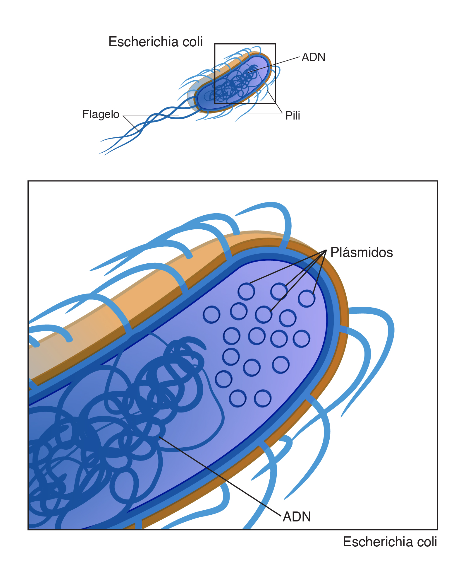 Plásmido Nhgri