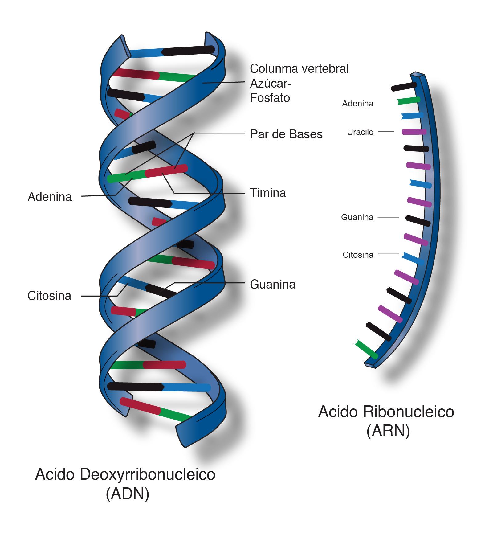 ácido Nucleico Nhgri
