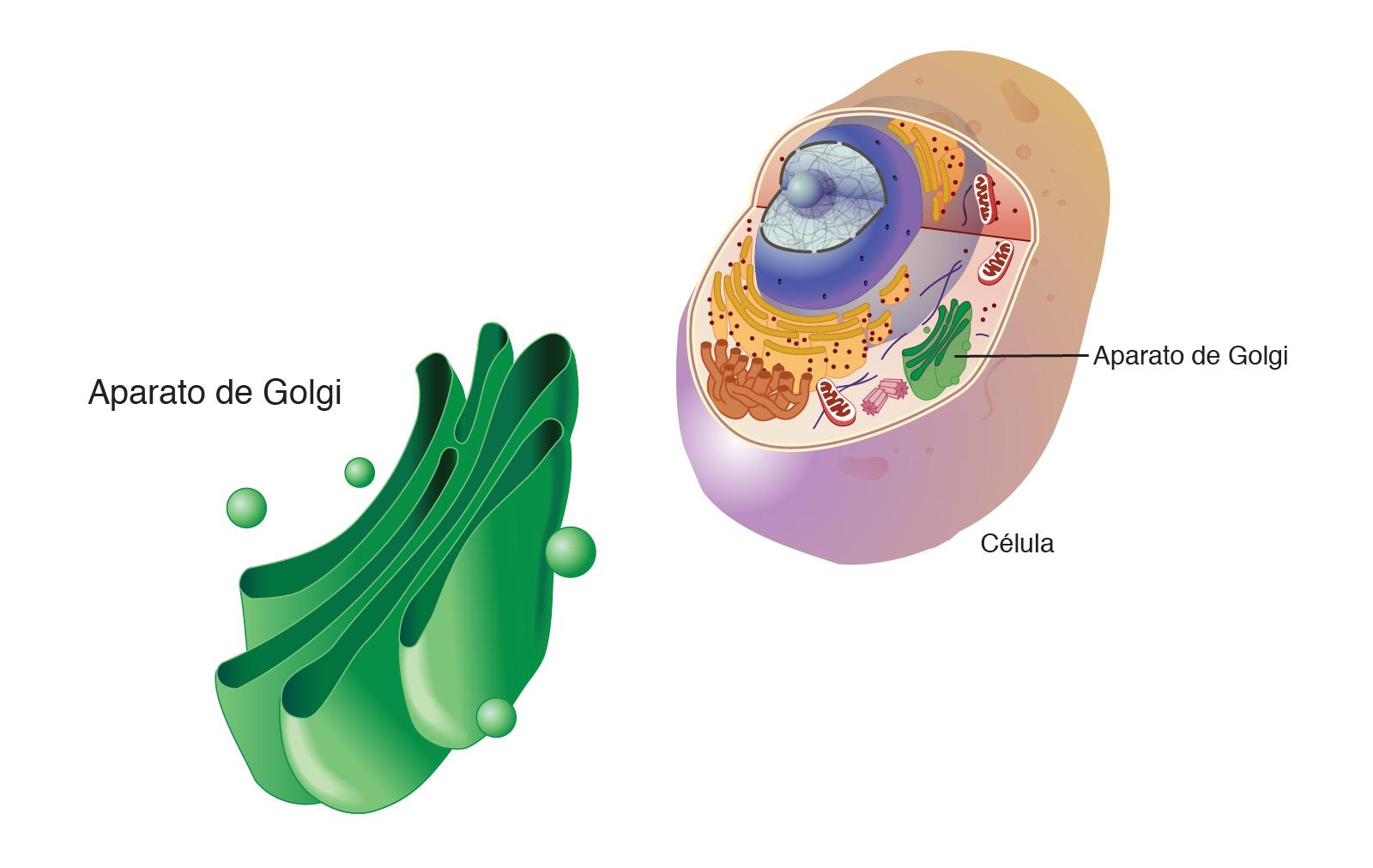 Aparato De Golgi Nhgri